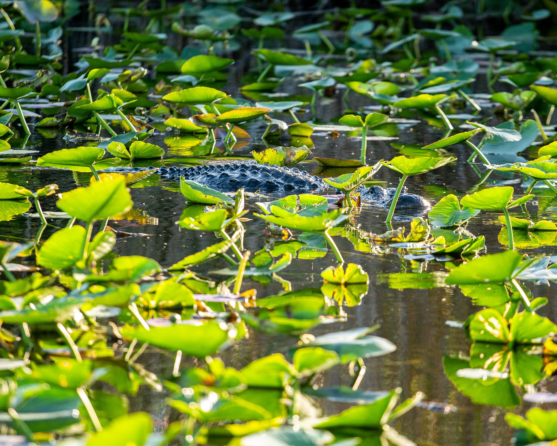 Hidden Alligator
