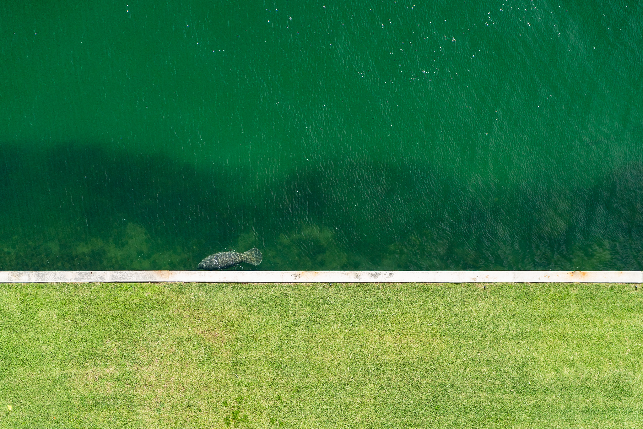 Manatee from above