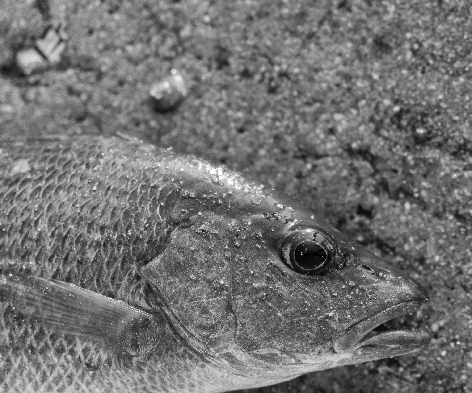 Snapper Bal Harbour, FL
