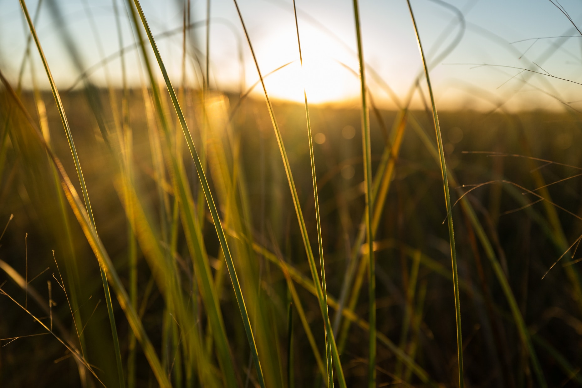 Saw-Grass at Sunset